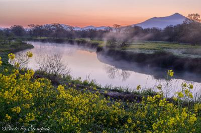 川霧漂う河岸に咲く菜の花