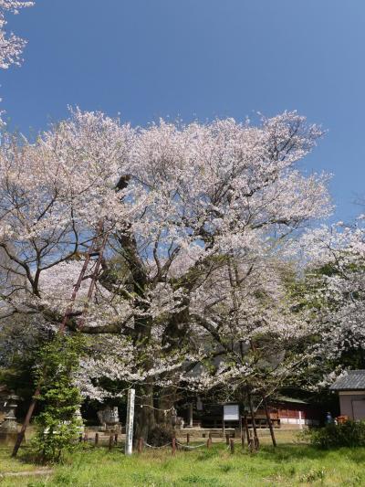 「長柄神社」のサクラ_2020(1)(2)_3月21日:咲き始め、4月4日:散り始め(群馬県・邑楽町)