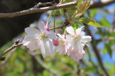 本日の冬桜