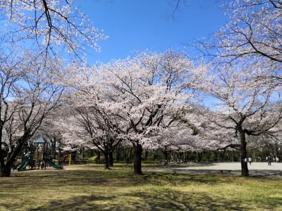 ☆2020年 春が来た! 散歩に行こう!☆3月 今年の桜は早い。中央公園 多摩湖自転車道路No1