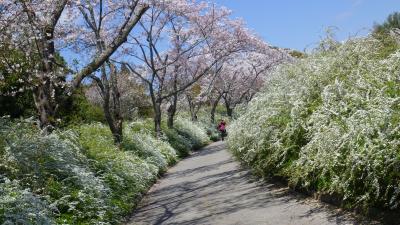 サクラ (愛知緑化センター&東谷山フルーツパーク)