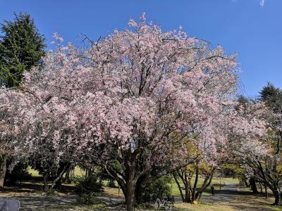 ☆2020年 春が来た! 散歩に行こう!☆4月 今年の桜は早い。所沢 航空公園 No2