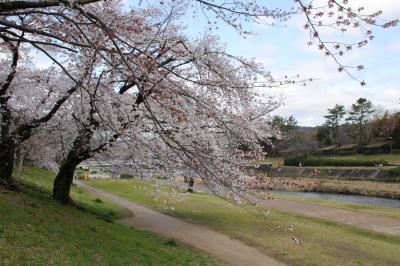 京都の桜、賀茂川