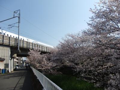 元住吉のさくら・新幹線の脇の矢上川