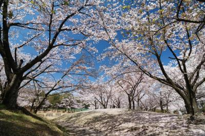 ショートトリップ桜巡り♪ みよし保田ヶ池&王滝渓谷城跡そのまんま公園♪