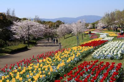 馬見丘陵公園 チューリップが綺麗に咲いていました。桜も。