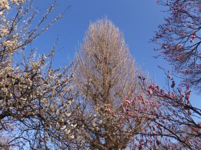 今年はやや早めに梅を見に。