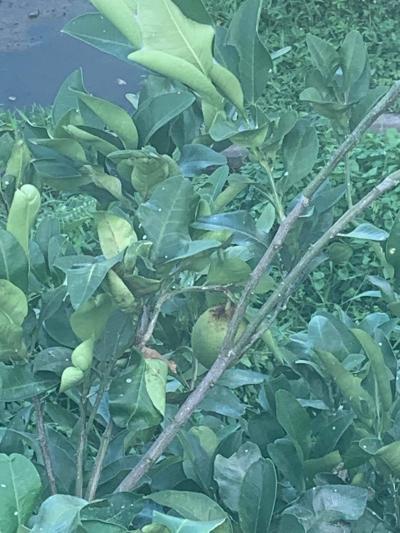 バリの果物シリーズ  ジュルックバリ