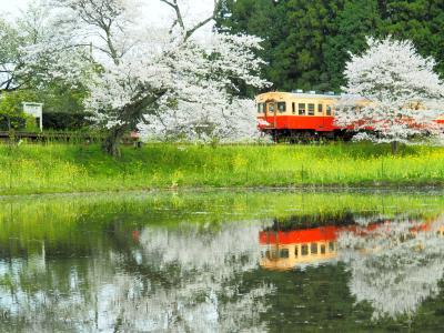 満開に桜咲く飯給駅