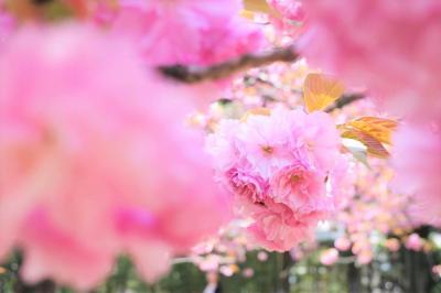 春の大田黒公園 満開の桜と新緑