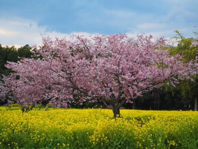 今年は青春18きっぷで関西方面の桜を愛でられないので近場でお花見[3]下野市・小山市