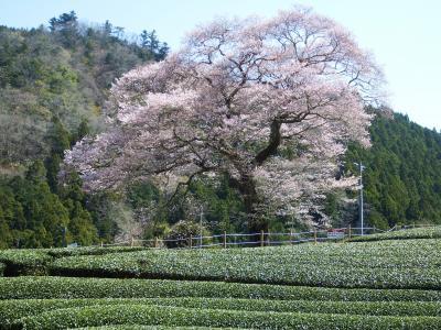 川根路の桜