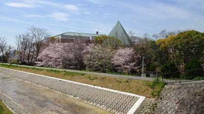 天神川の堤防に咲く桜の花見をしました その5完。
