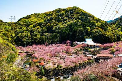 一心寺の八重桜 2020