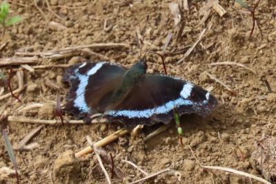 森のさんぽ道で見られた蝶⑫ルリタテハ、キチョウだけでした