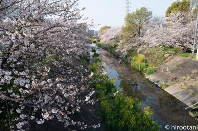 2020 山崎川四季の道の桜