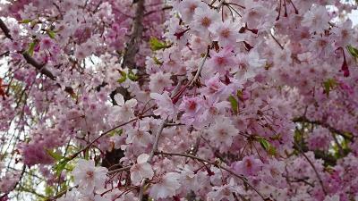 たんたん小道の一部に咲く八重桜を観て来ました その1。