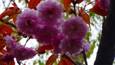 たんたん小道の一部に咲く八重桜を観て来ました その2。
