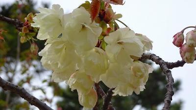 たんたん小道の一部に咲く八重桜を観て来ました その3。
