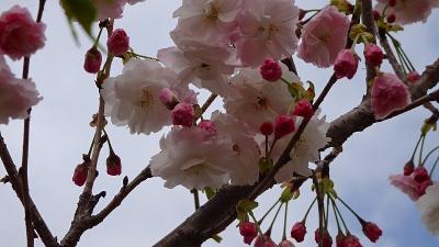 たんたん小道の一部に咲く八重桜を観て来ました その4。
