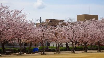 たんたん小道の一部に咲く八重桜を観て来ました その5。