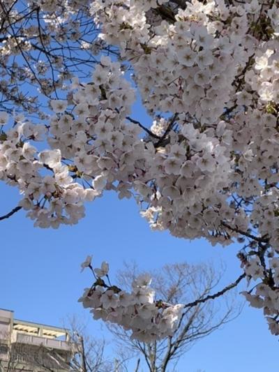 秋田市の桜、もっと咲く