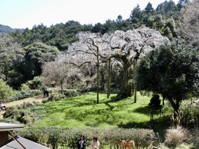 紹太寺しだれ桜と漁港の道TOTOCO
