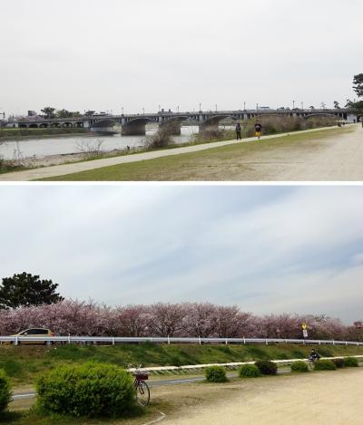 行き忘れてた桜の名所 武庫川河川敷