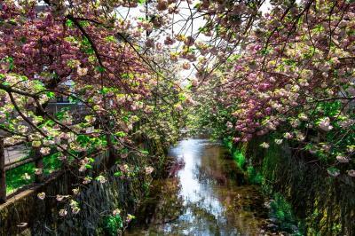 中野川の八重桜  2020