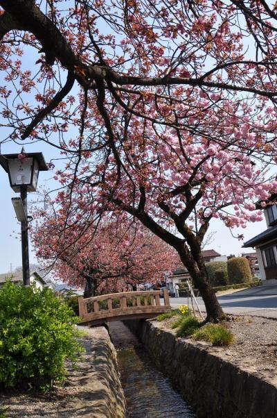 白井宿の八重桜と白井城址