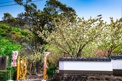 真玉の八重桜 2020