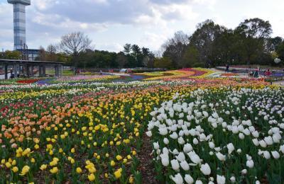 木曽三川公園センターのチューリップを楽しむ