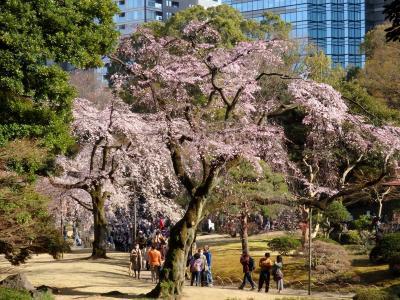 ちょこっと桜さんぽ 小石川後楽園のしだれ桜