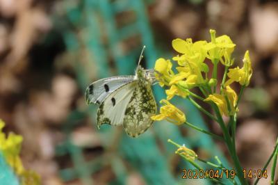 森のさんぽ道で見られた蝶⑬ツバメシジミ、ツマキチョウ、ルリタテハ、モンシロチョウ