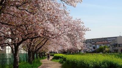 伊丹スポーツセンターの桜と鴻池団地の花壇 その1。