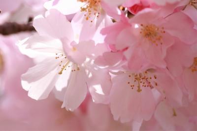 ショートトリップ桜巡り♪ ふんわりと咲く思川桜の艶姿♪ 豊田市美術館♪