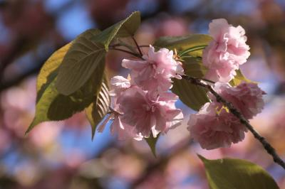 一週間ぶりの智光山公園の植物園は、帯に短し、たすきに長し~晴天と行き帰りの田舎道と八重桜に慰められる