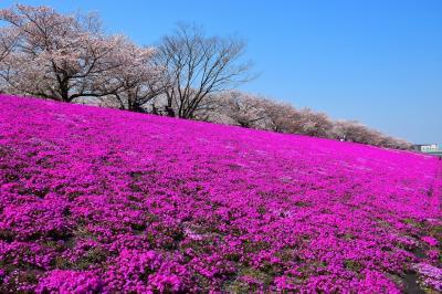 【東京散策105-1】都内最大の芝桜と荒川周辺を散歩してみた《新荒川大橋緑地の芝桜》