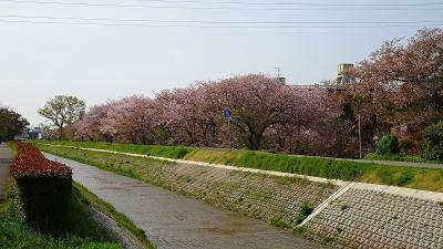 天神川荻野地区の堤防に咲く八重桜のお花見 その1。