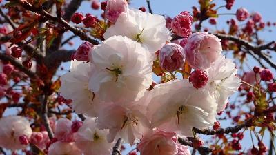 天神川荻野地区の堤防に咲く八重桜のお花見 その2。