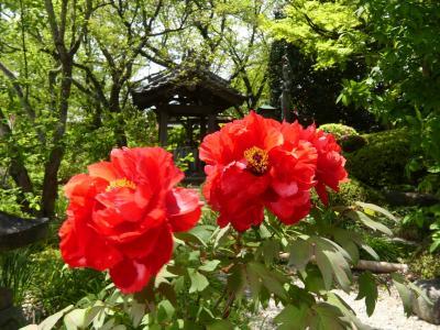 「常楽寺」の春の花_2020_ボタンとハナミズキが印象に残りました(群馬県・太田市)