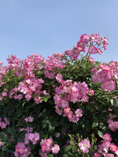 *花菜ガーデン休園中*(T ^ T)来年のバラを楽しみに!