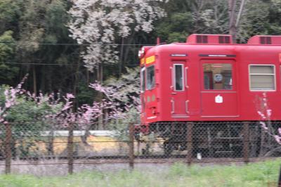近場の桜と桃の花を求めて(岩出市荒川、大池遊園、根来寺)
