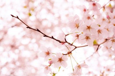 お家で東京多摩地区桜巡り