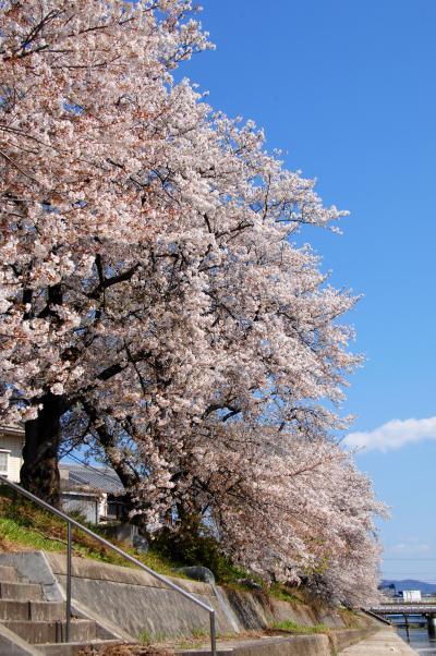 2020年の京都自然200選~久御山東一口前川堤桜並木3
