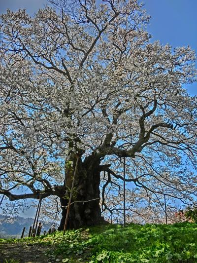 2020・岡山県内をドライブ旅(その2)「醍醐桜」に会いに