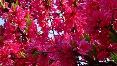 緑ヶ丘公園の「桜の丘」に咲く桜を見に出掛けました その1。