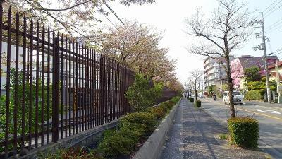 緑ヶ丘公園の「桜の丘」に咲く桜を見に出掛けました その2。