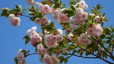 緑ヶ丘公園の「桜の丘」に咲く桜を見に出掛けました その3。