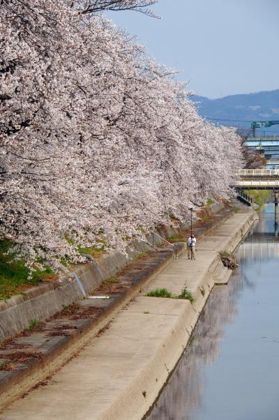 2020年の京都自然200選~久御山東一口前川堤桜並木1(下見)